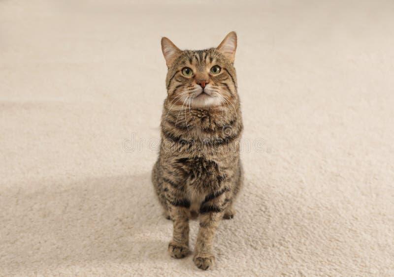 逗人喜爱的虎斑猫坐光 免版税库存图片