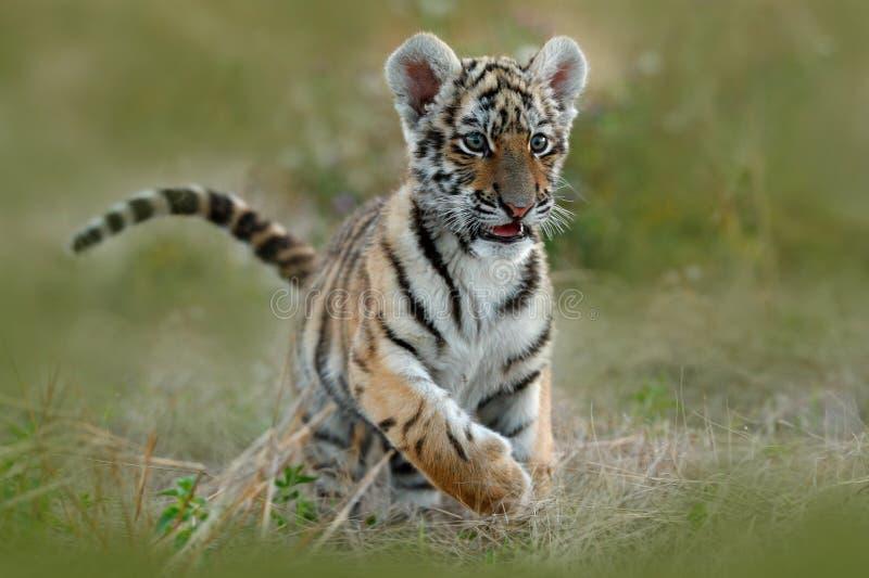 逗人喜爱的虎犊 在草的东北虎 跑在草甸的阿穆尔河老虎 行动野生生物与危险动物的夏天场面 自然 免版税库存图片