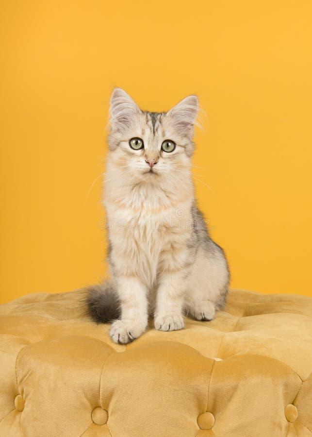 逗人喜爱的西伯利亚小猫坐看在黄色背景的蒲团照相机在一个垂直的图象 免版税库存图片