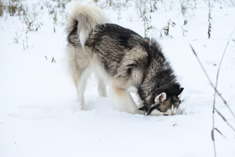 逗人喜爱的西伯利亚爱斯基摩人充当户外,雪 库存图片