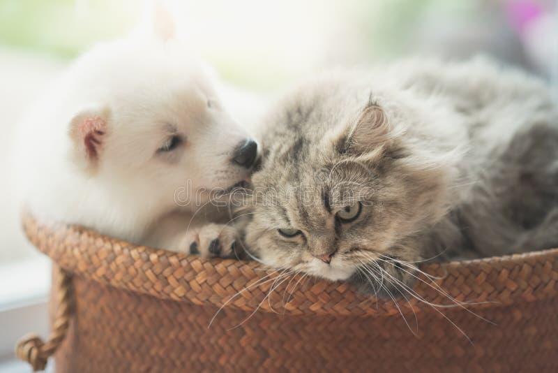 逗人喜爱的西伯利亚爱斯基摩人和波斯猫说谎 库存照片