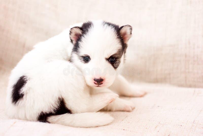 逗人喜爱的西伯利亚爱斯基摩人小狗在家坐沙发 免版税库存图片