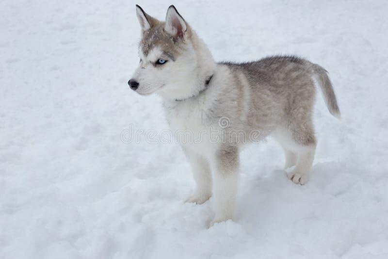 逗人喜爱的西伯利亚爱斯基摩人小狗在白雪站立 宠物 库存图片