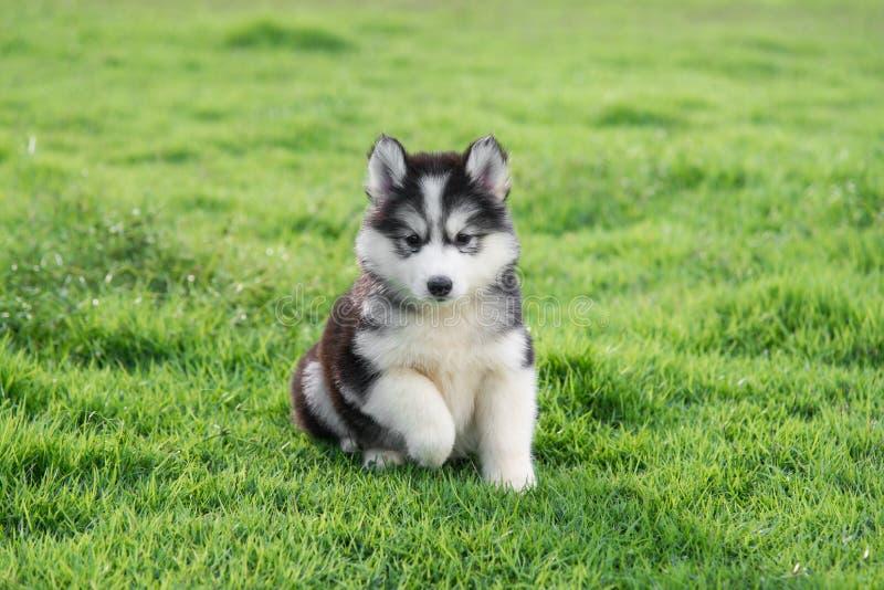 逗人喜爱的西伯利亚爱斯基摩人小狗 免版税库存图片