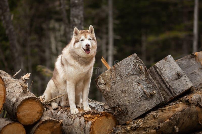 逗人喜爱的西伯利亚爱斯基摩人狗坐在森林美丽的狗的木柴与米黄和白色外套 免版税库存照片