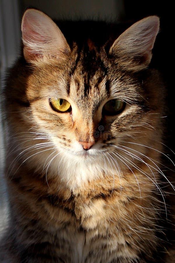 逗人喜爱的西伯利亚猫画象在阳光下 免版税库存照片