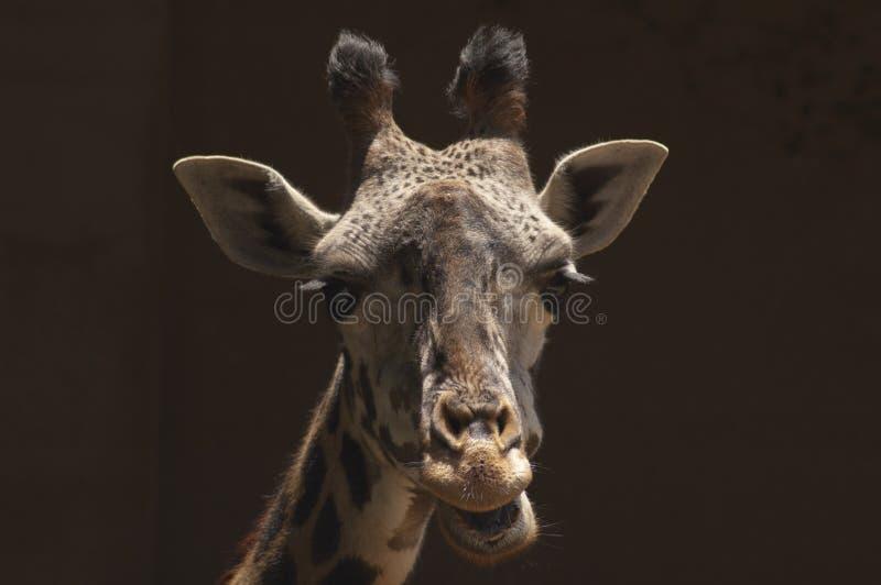 逗人喜爱的西非长颈鹿在洛杉矶动物园嚼反刍食物 免版税库存照片