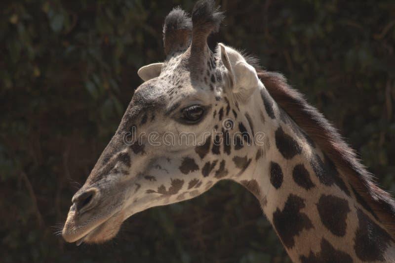 逗人喜爱的西非长颈鹿舌头外的洛杉矶动物园 免版税库存图片