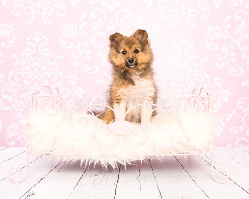 逗人喜爱的设德蓝群岛牧羊犬大牧羊犬小狗在床上 免版税库存图片