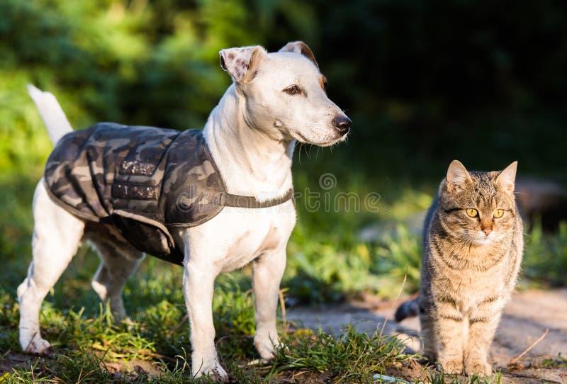 逗人喜爱的起重器罗素狗和家养的小猫最好的朋友 库存图片