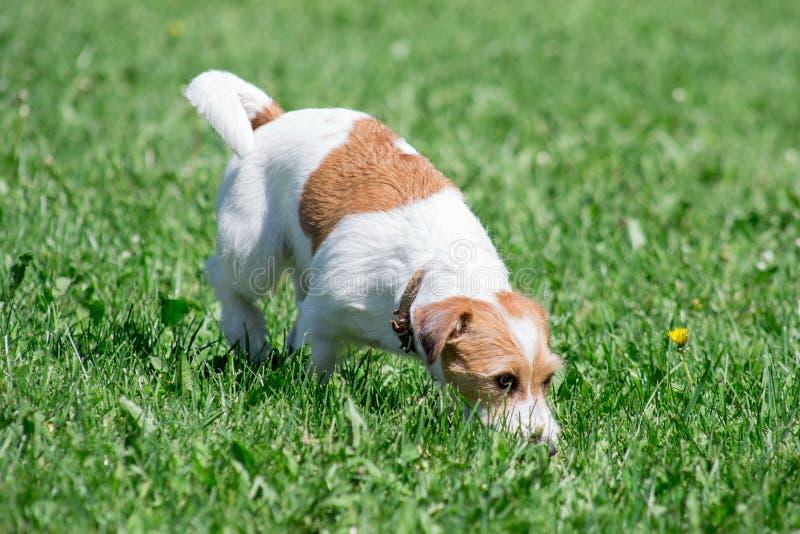 逗人喜爱的起重器罗素狗小狗在一个绿色草甸走 ?? 图库摄影