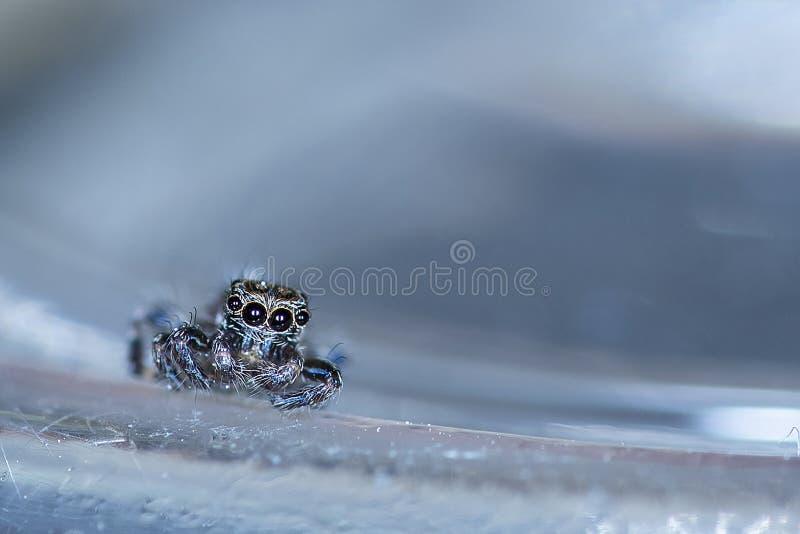 逗人喜爱的跳跃的蜘蛛坐玻璃表面 库存照片