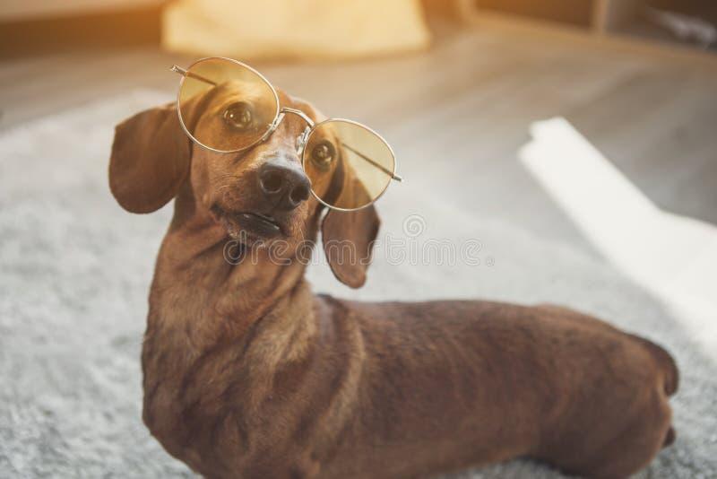 逗人喜爱的达克斯猎犬狗佩带的玻璃 免版税库存图片