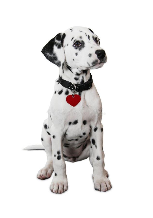 逗人喜爱的达尔马希亚小狗 免版税库存照片
