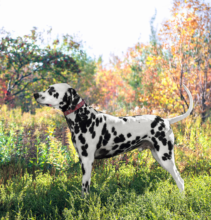 逗人喜爱的达尔马希亚狗品种在陈列st的位置站立 免版税库存图片