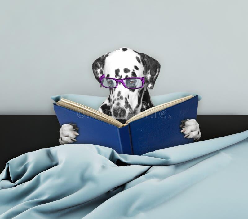 逗人喜爱的达尔马希亚狗在床上的读一本书 免版税库存照片