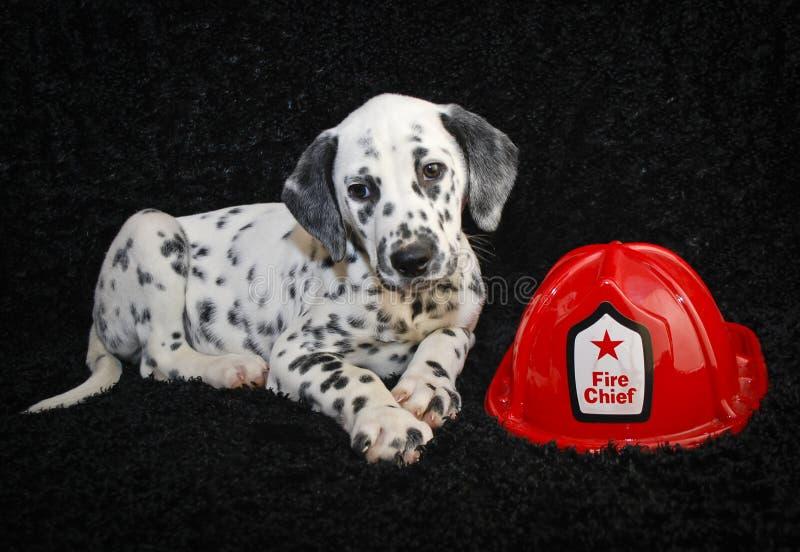 逗人喜爱的达尔马提亚小狗 免版税库存照片