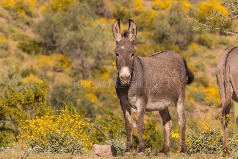 逗人喜爱的野生驮货驴子在春天 库存图片