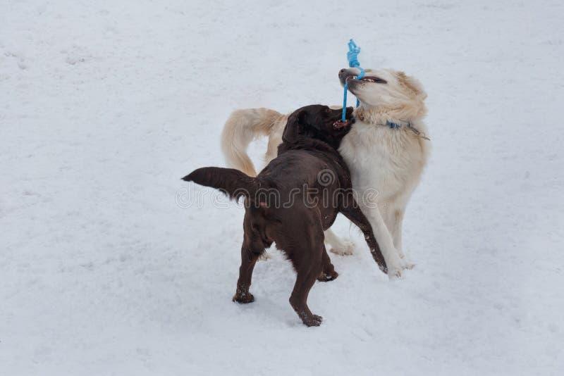 逗人喜爱的金毛猎犬和巧克力拉布拉多在白雪使用 ?? 免版税图库摄影