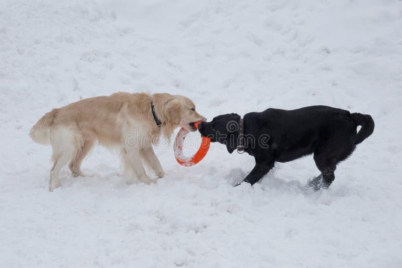 逗人喜爱的金毛猎犬和拉布拉多猎犬使用与他的在白雪的玩具 免版税库存照片