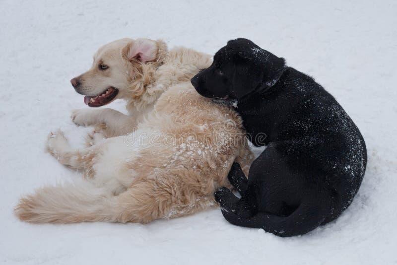 逗人喜爱的金毛猎犬和黑拉布拉多在白雪说谎 ?? 库存照片