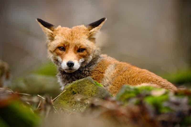 逗人喜爱的镍耐热铜,狐狸狐狸,在绿色森林的动物有石头的,在自然栖所,德国 库存照片