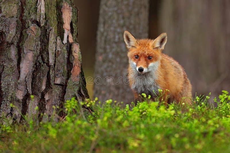 逗人喜爱的镍耐热铜,狐狸狐狸,在绿色森林 免版税库存照片