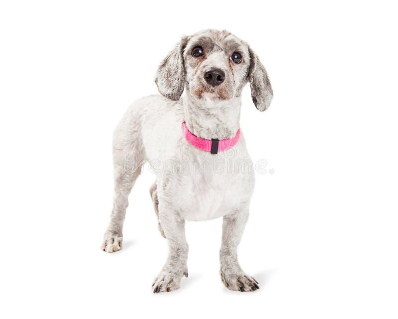 逗人喜爱的长卷毛狗和达克斯猎犬杂种狗 免版税库存图片