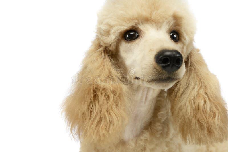 逗人喜爱的长卷毛狗画象在白色演播室 库存图片