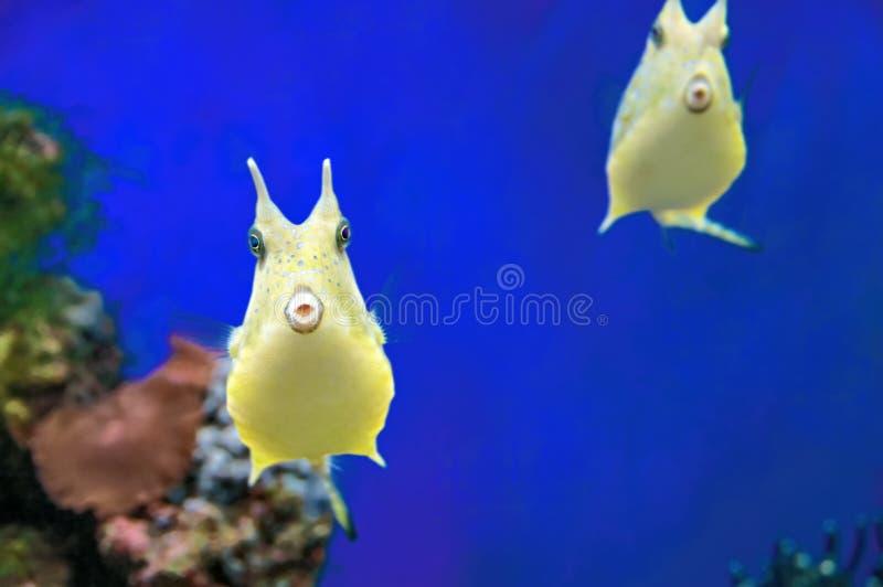 逗人喜爱的长角牛海牛可笑异乎寻常的珊瑚鱼 在蓝色背景的黄色热带滑稽的鱼 库存照片