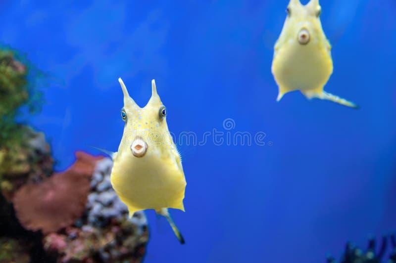 逗人喜爱的长角牛海牛异乎寻常的珊瑚鱼 在蓝色背景的黄色热带滑稽的鱼 免版税库存照片