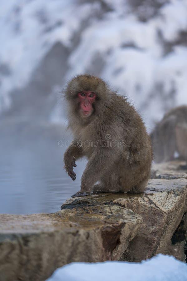 逗人喜爱的雪猴子坐岩石 免版税库存图片