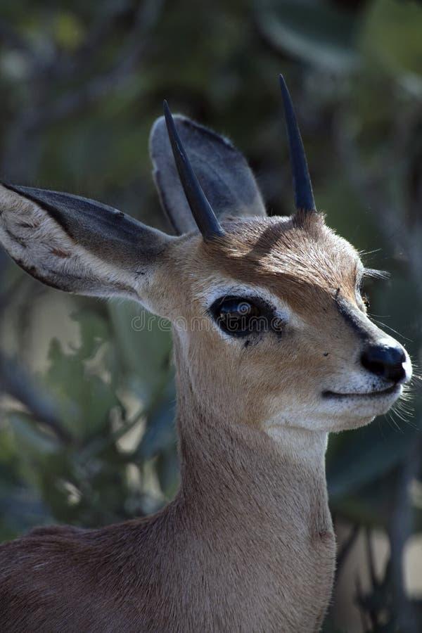 逗人喜爱的面对的剪影非洲人般的灰色小羚羊 库存照片