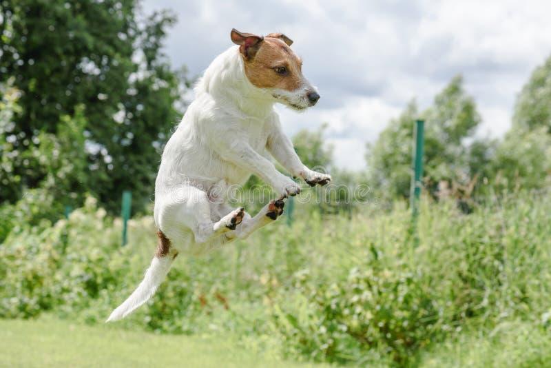 逗人喜爱的飞行的杰克罗素狗狗滑稽的跃迁  库存照片