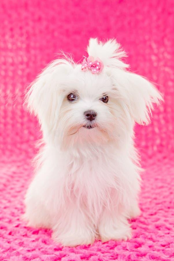 逗人喜爱的马尔他小狗 免版税库存照片