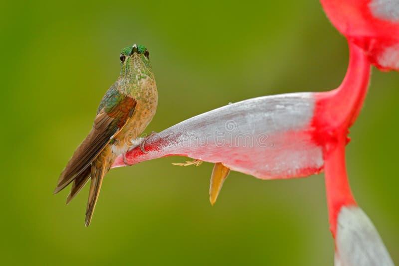 逗人喜爱的鸟坐一朵美丽的红色Heliconia花,热带森林,动物在自然栖所 从自然的野生生物场面 小鹿 免版税库存照片
