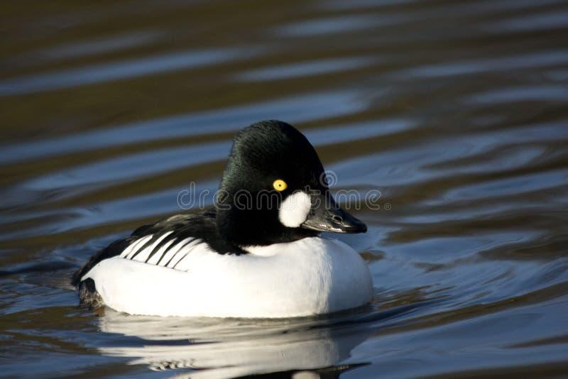 逗人喜爱的鸭子游泳 免版税库存图片