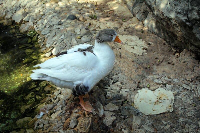逗人喜爱的鹅在Jeita洞穴,黎巴嫩附近的庭院里 库存图片