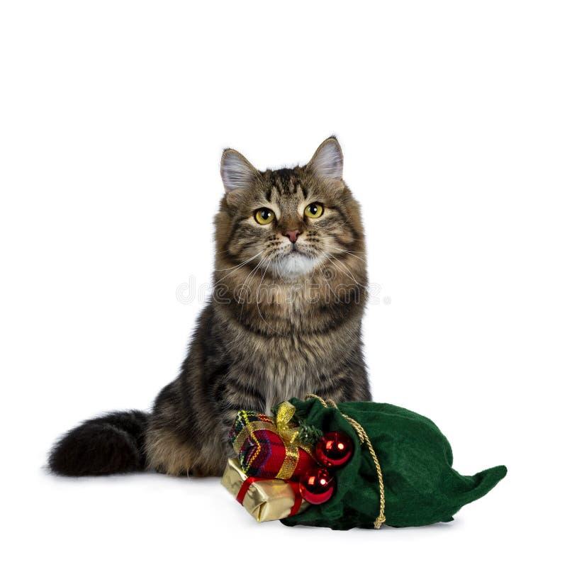 逗人喜爱的黑平纹西伯利亚猫小猫,隔绝在白色背景 免版税库存照片