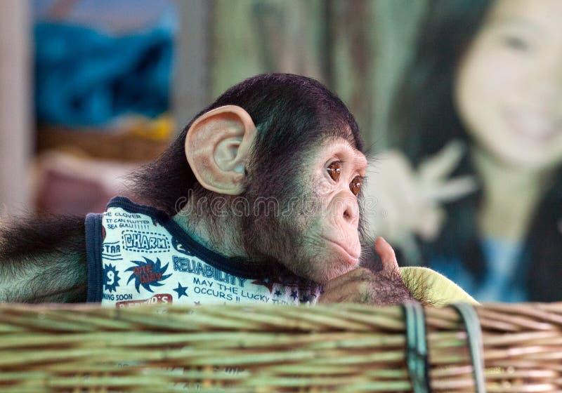逗人喜爱的黑猩猩看 免版税图库摄影