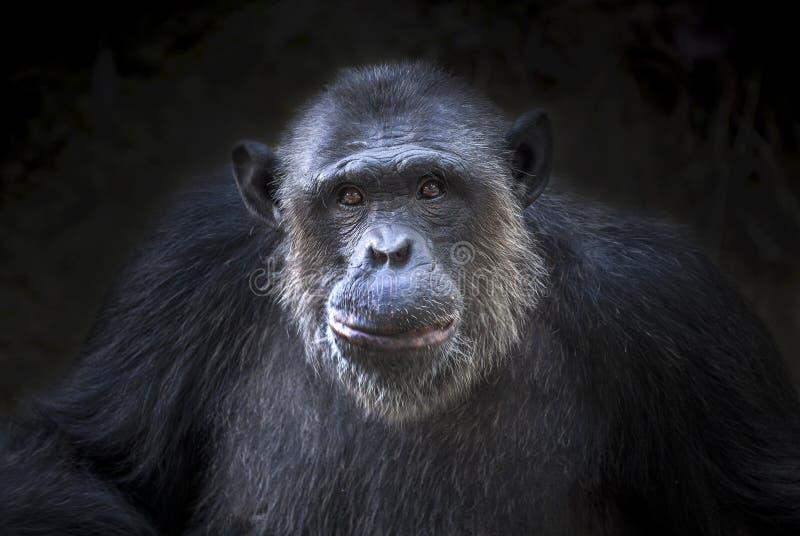 逗人喜爱的黑猩猩 免版税库存图片