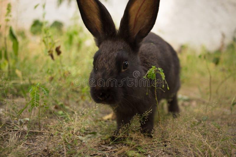 逗人喜爱的黑褐色兔子 库存照片