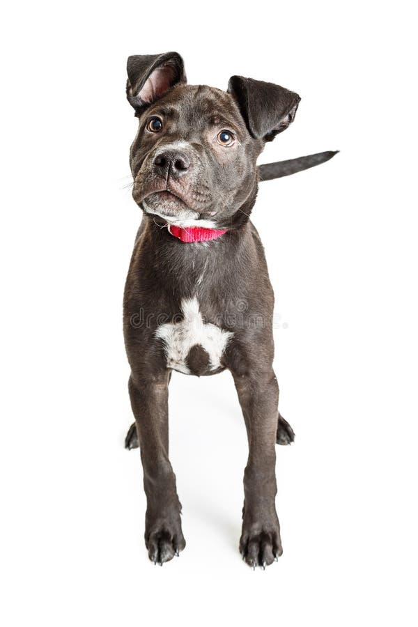 逗人喜爱的黑实验室美洲叭喇小狗 免版税库存照片