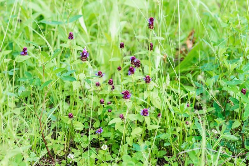 逗人喜爱的紫色野花在夏天绿化草甸 在雨以后的夏日 季节的概念,生态,绿色行星 库存照片
