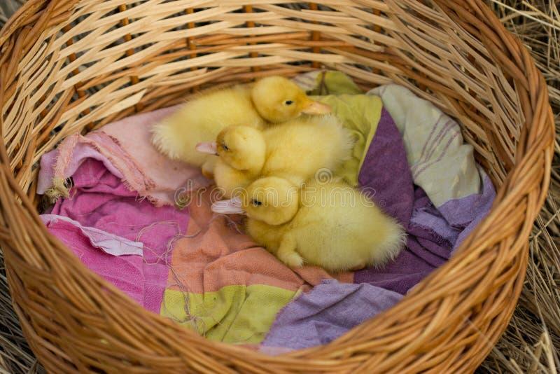 逗人喜爱的年轻鸭子,在开始他们活 免版税图库摄影
