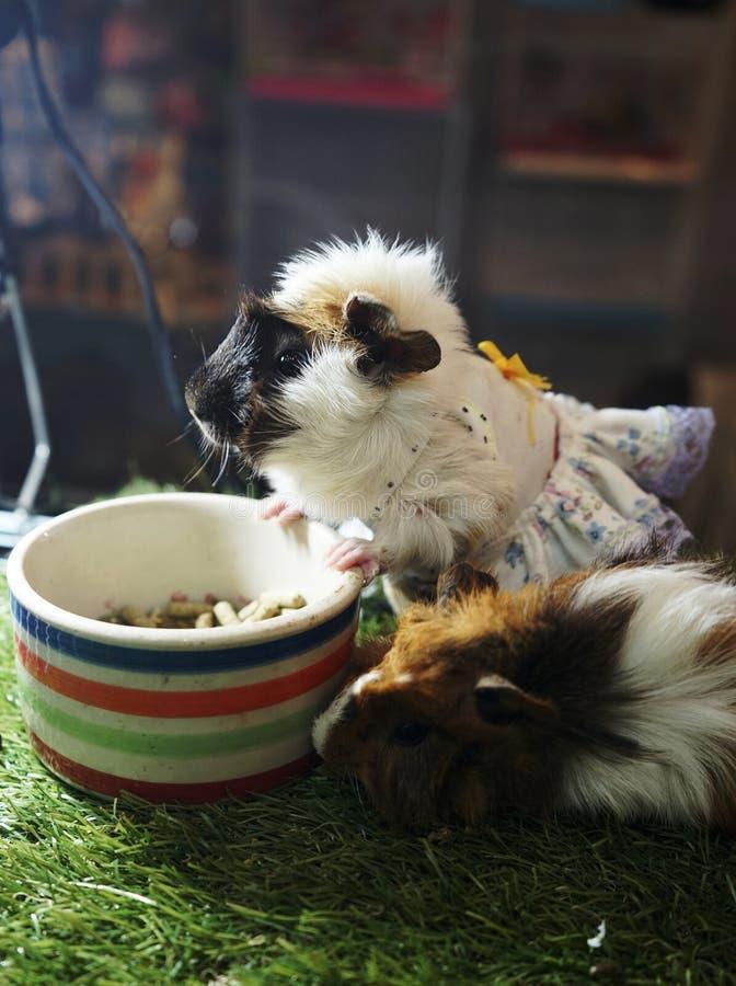 逗人喜爱的仓鼠商品裙子和吃食物 库存图片