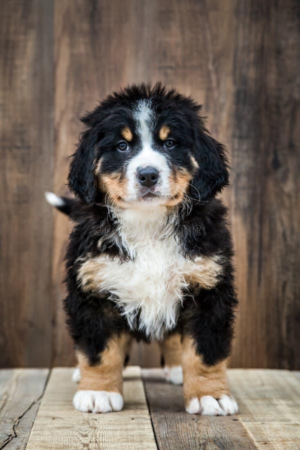 逗人喜爱的Bernese山小狗 库存照片