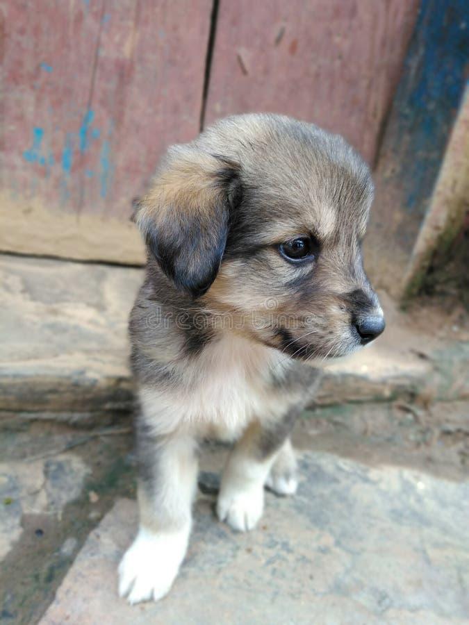 逗人喜爱的bhotiya小狗 图库摄影