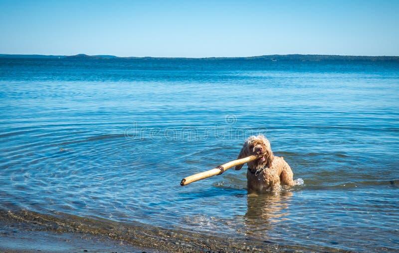 逗人喜爱的Cockapoo在鳕鱼角海洋驾驶大棍子 免版税库存照片