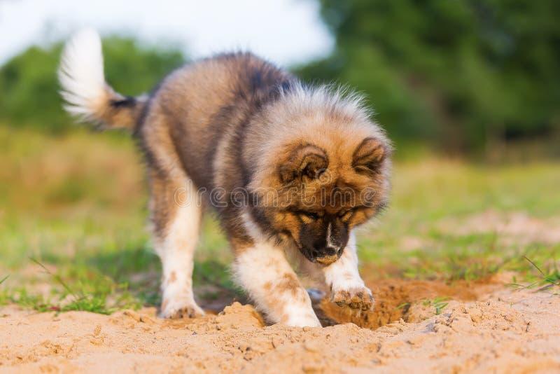 逗人喜爱的elo小狗在沙坑开掘 免版税图库摄影